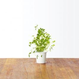 Zestaw 3 kapsułek z nasionami oregano 0,047kg Click and Grow