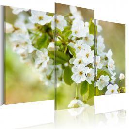 Obraz - Motyw z białymi kwiatami wiśni (60x50 cm)