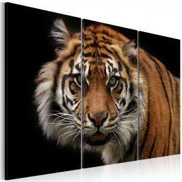 Obraz - Drapieżny tygrys (60x40 cm)